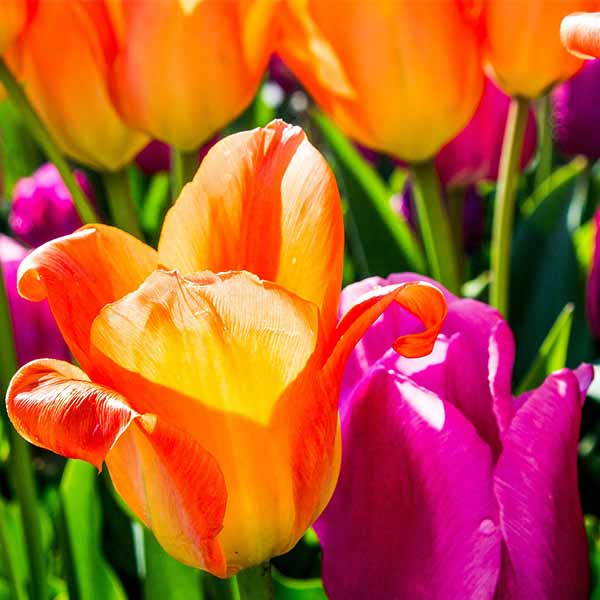 Fiori 1 Maggio.Dal 28 Aprile Al 1 Maggio Vivacita E Colori Per Cattolica In Fiore